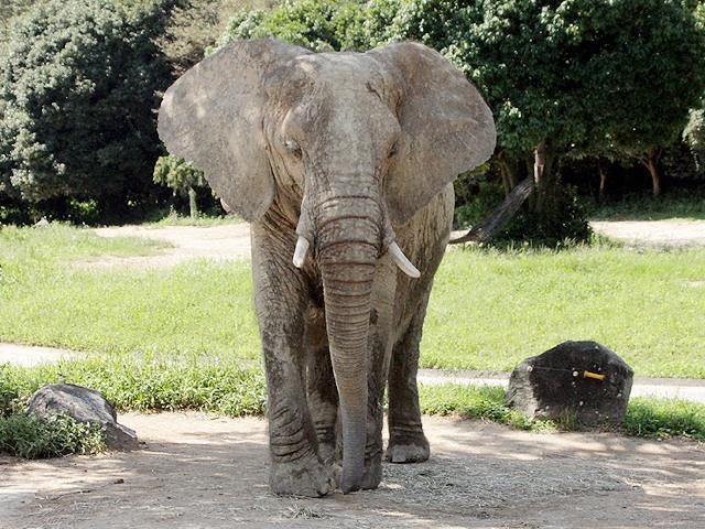 アフリカゾウの画像 p1_3