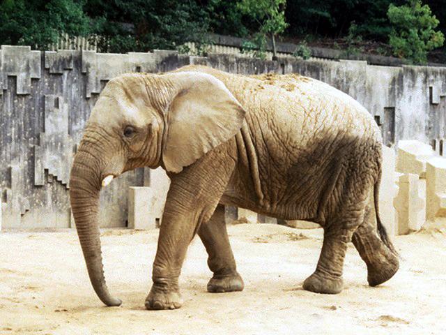 アフリカゾウの画像 p1_2