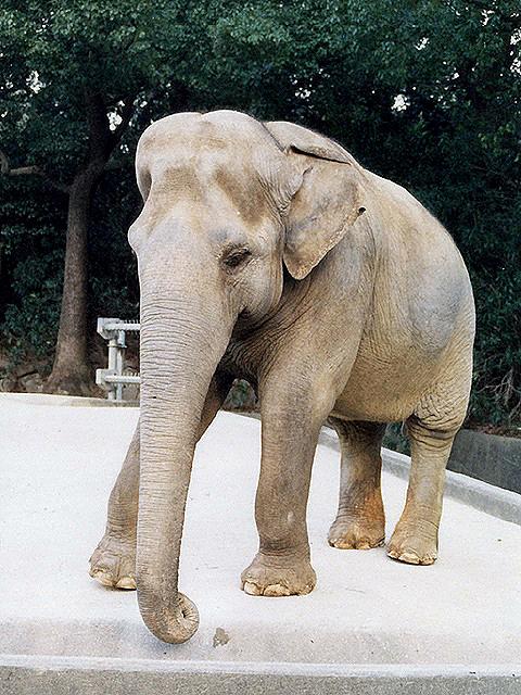 アジアゾウの画像 p1_12
