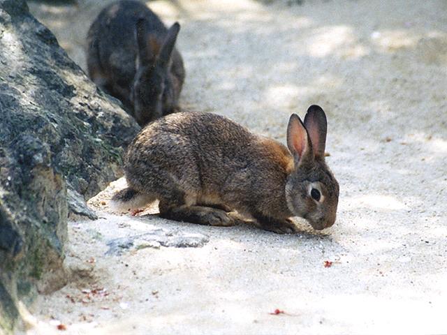 ニホンノウサギの画像 p1_28