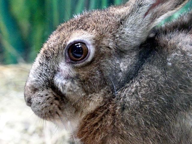 ニホンノウサギの画像 p1_3