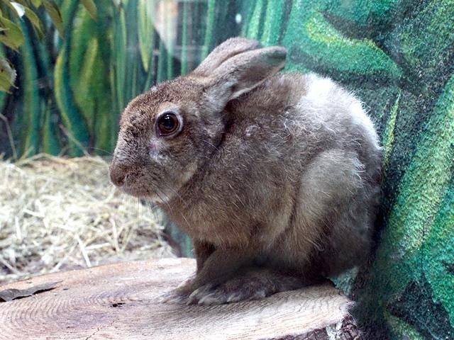 ニホンノウサギの画像 p1_4