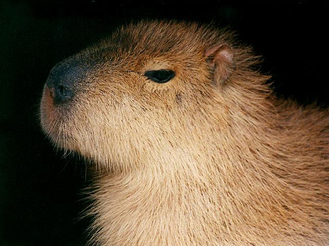 テンジクネズミの画像 p1_22