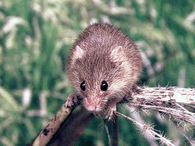 カヤネズミの画像 p1_2