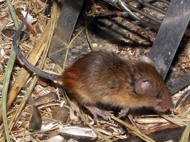 カヤネズミの画像 p1_1