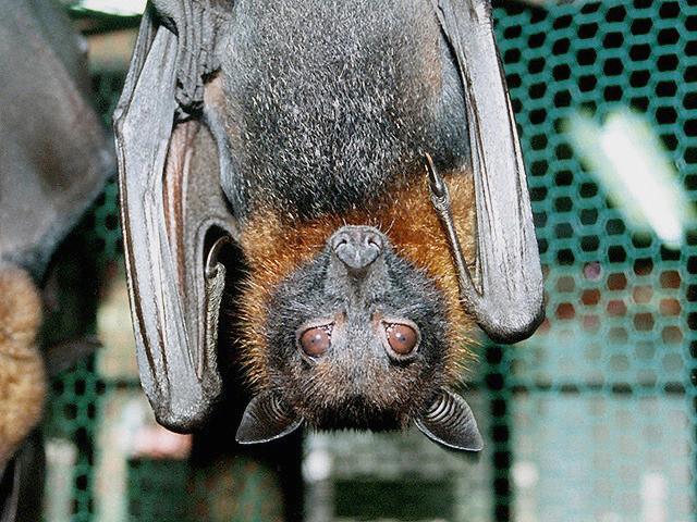 オオコウモリの画像 p1_1