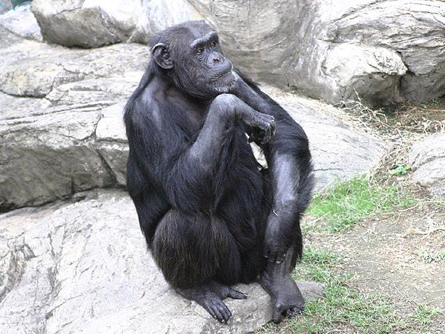 チンパンジーの画像 p1_1
