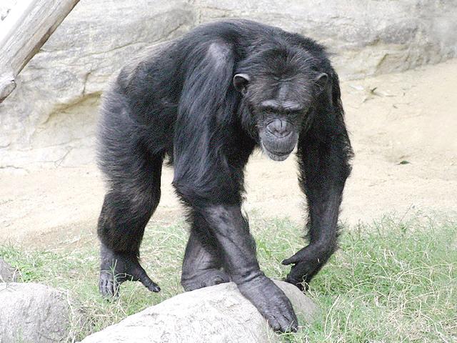 チンパンジーの画像 p1_22