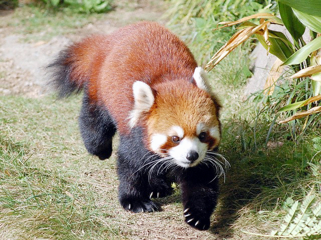 レッサーパンダの画像 p1_33