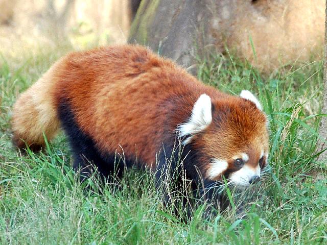 レッサーパンダの画像 p1_19