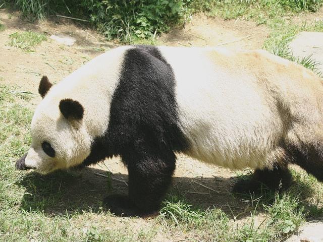 ジャイアントパンダの画像 p1_22