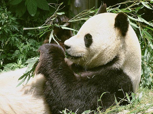 ジャイアントパンダの画像 p1_10