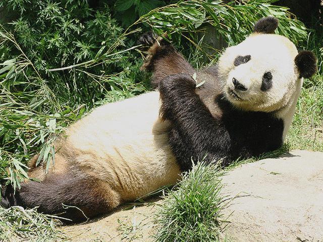 ジャイアントパンダの画像 p1_4