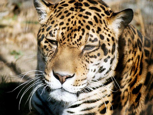 ジャガーの画像 p1_33