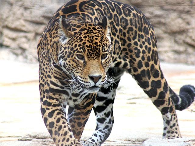 ジャガーの画像 p1_1