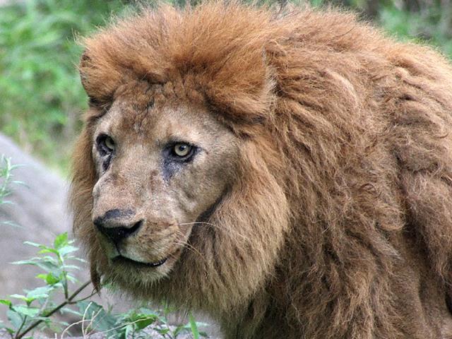 ライオンの画像 p1_1