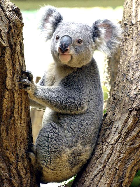 コアラ (お笑い芸人)の画像 p1_7